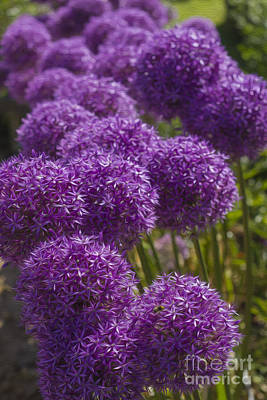 Photograph - Purple Pompoms by Clare Bambers