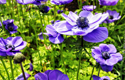 Photograph - Purple Poppies by Trina  Ansel