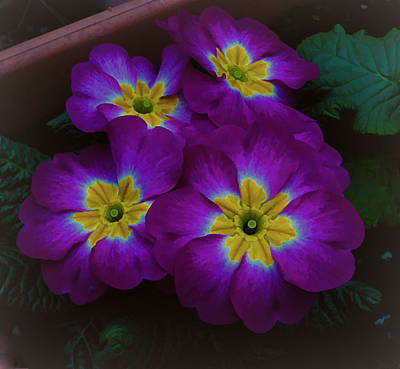 Photograph - Purple Primrose by Ron Roberts