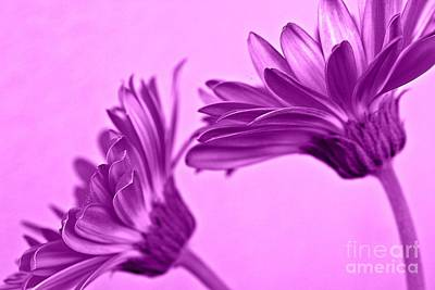 Gerbera Daisy Photograph - Purple Punch by Clare Bevan