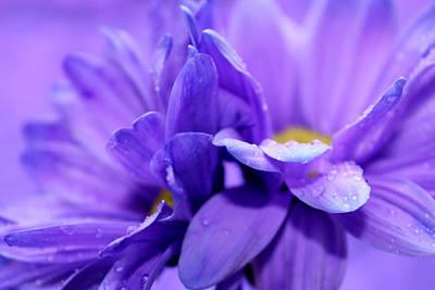 Daisy Photograph - Purple Rain by Krissy Katsimbras