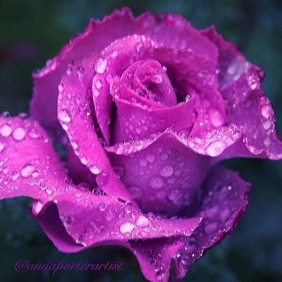 Raindrops Photograph - Purple Rose And Raindrops by Anna Porter