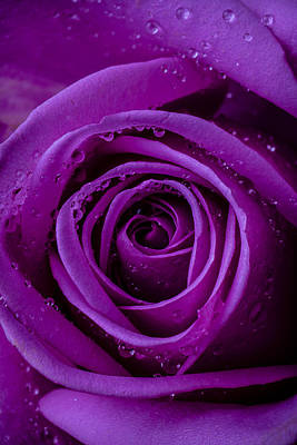 Photograph - Purple Rose Close Up by Garry Gay