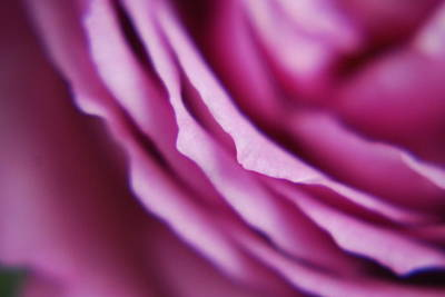 Photograph - Purple Rose by Steven Liveoak
