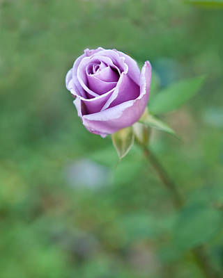 Photograph - Purple Rose by Thomas Hall