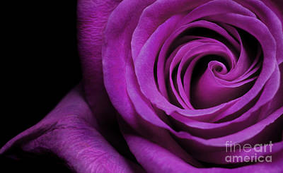 Purple Roses Closeup Art Print by Boon Mee