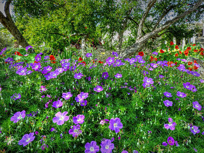Purple Rozanne Geraniums 001 Art Print by Lance Vaughn