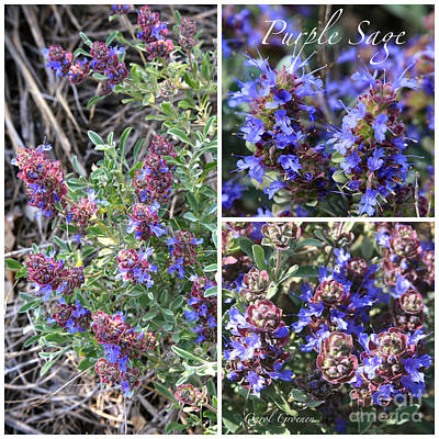 Photograph - Purple Sage Collage by Carol Groenen