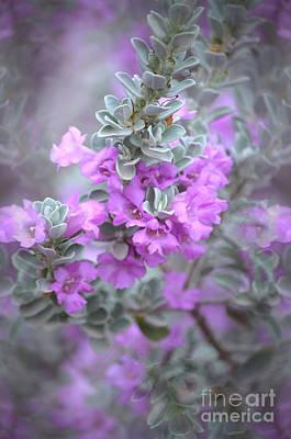 Purple Sage Art Print