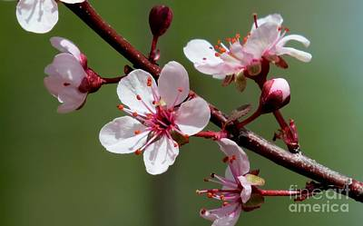 Photograph - Purple Sand Cherry by Michele Penner