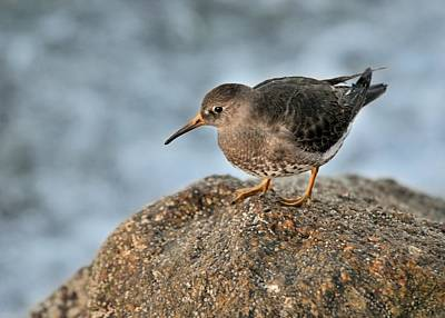 Photograph - Purple Sandpiper by Bradford Martin