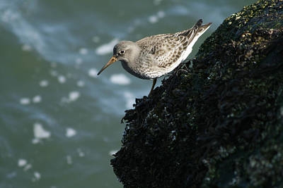 Photograph - Purple Sandpiper by Kristia Adams
