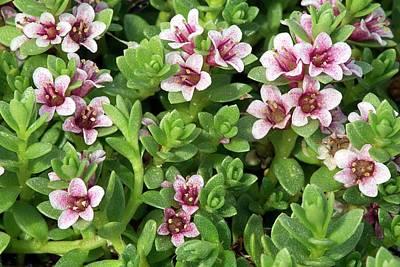 Purple Saxifrage (saxifraga Oppositifolia Art Print