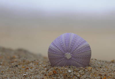 Seashore Photograph - Purple Sea Urchin  by Cathy Lindsey