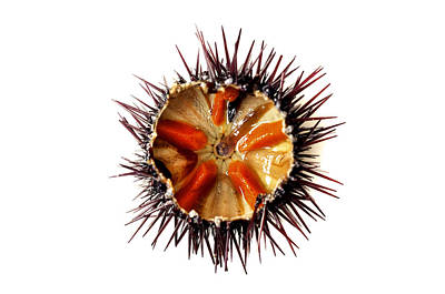 Photograph - Purple Sea Urchin by Fabrizio Troiani