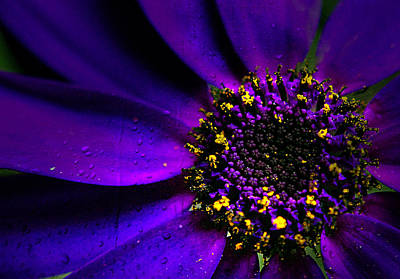 Purple Senetti In Macro Art Print by Rosanna Zavanaiu