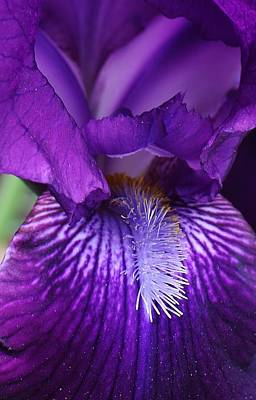 Photograph - Purple Sensation by Bruce Bley