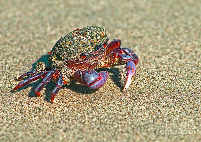 Photograph - Purple Shore Crab 2a by Sharon Talson
