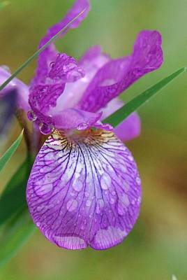 Photograph - Purple Siberian Iris After The Rain by Amy Porter