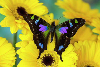 Gerber Daisy Photograph - Purple Spotted Swallowtail Butterfly by Darrell Gulin