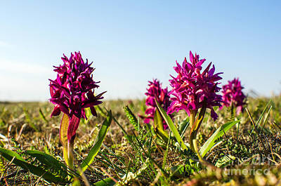 Photograph - Purple Spring Beauty by Kennerth and Birgitta Kullman