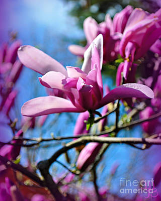 Photograph - Purple Star Magnolia  by Mindy Bench