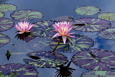 Waterlily With Purple Striped Lily Pads Art Print by M E Wood