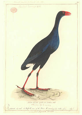 1814 Photograph - Purple Swamphen by Natural History Museum, London