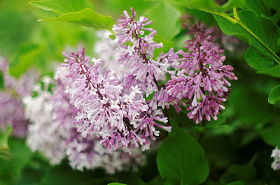 Art Print featuring the photograph Purple Syringa Flowers by Suzanne Powers