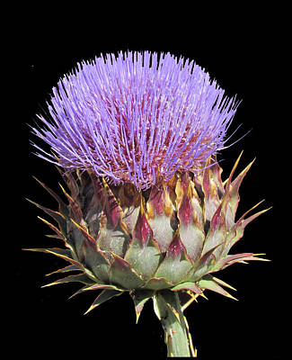 Photograph - Purple Thistle by Bonnie Muir