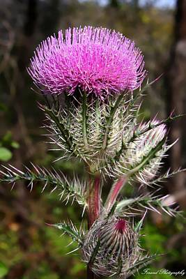 Photograph - Purple Thistle  by Debra Forand