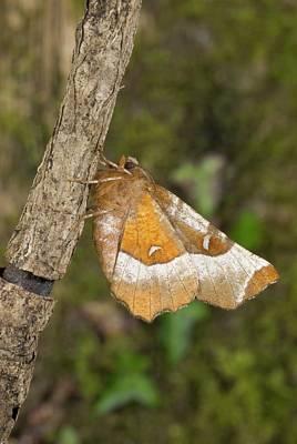 Purple Thorn Moth Art Print by David Aubrey/science Photo Library