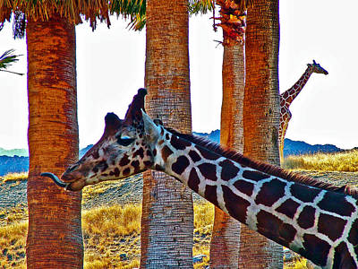 Purple-tongued Giraffe In Living Desert Museum In Palm Desert-california Original by Ruth Hager
