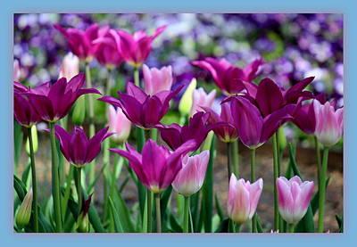 Tulips Photograph - Purple Tulip Bliss by Rosanne Jordan