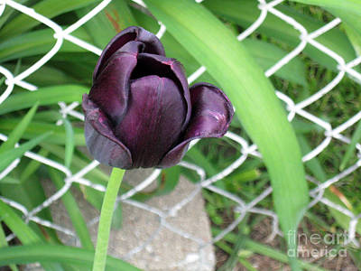 Purple Tulip Art Print
