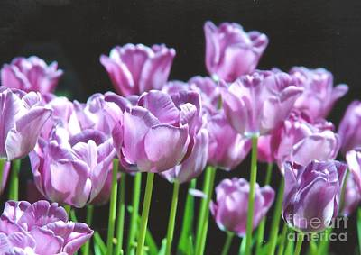 Photograph - Purple Tulips Closeup by Rod Ismay