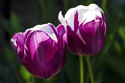 Photograph - Purple Tulips by Heather Grow