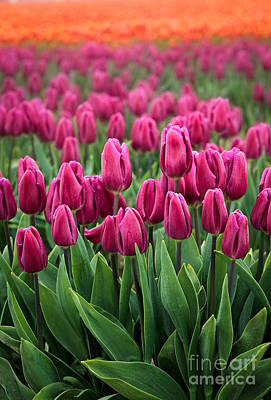 Festival Photograph - Purple Tulips by Inge Johnsson