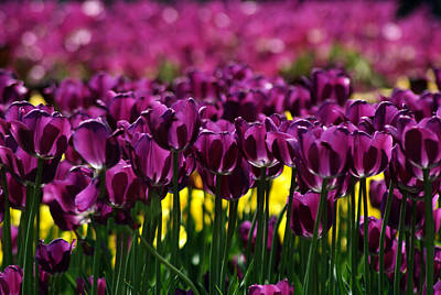 Photograph - Purple Tulips by Judy Salcedo