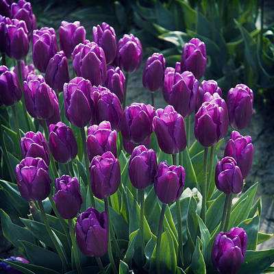 Purple Tulips Art Print by Yulia Kazansky