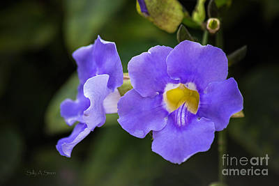 Photograph - Purple Vine Flower by Sally Simon