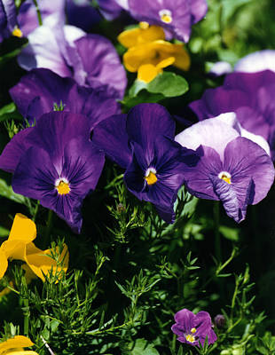Photograph - Purple Violas by Robert Lozen