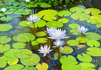Sunlight On Flowers Photograph - Purple Water Lilies In A Pond. by Jamie Pham