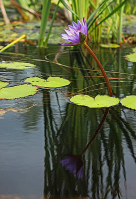 Photograph - Purple Water Lily And Reflection by Suzanne Gaff