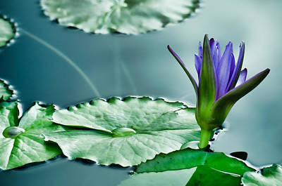 Photograph - Purple Water Lily by Don Schwartz