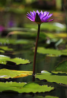 Purple Water Lily II Original by Suzanne Gaff