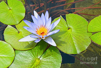 Sunlight On Flowers Photograph - Purple Water Lily In Pond. by Jamie Pham
