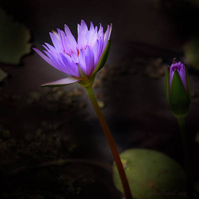 Photograph - Purple Water Lily by Joseph G Holland