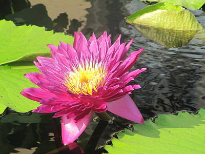 Art Print featuring the photograph Purple Water Lily by Richard Reeve