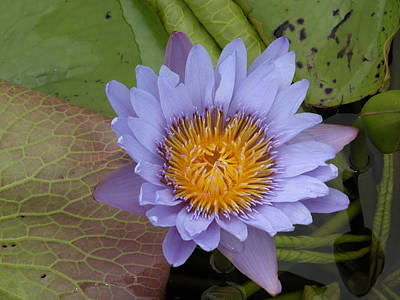 Photograph - Purple Water Lily by Rudy Umans
